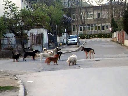 Čopor ispred škole u Vranju FOTO Amaterski snimak