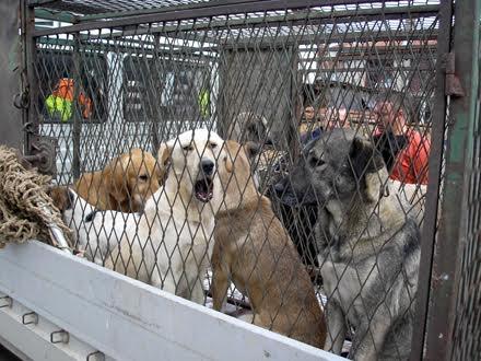 KOMRAD mesečno uhvati i do 50 napuštenih pasa FOTO Komrad