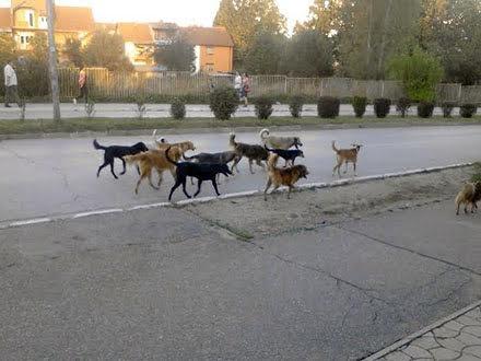 Psi na ulicama Vranja: Nerešiv problem? FOTO OK Radio