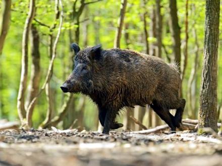 Virus prenose divlje svinje FOTO: Thinkstock