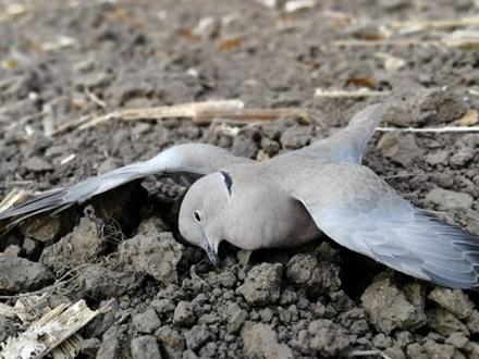 Pomor ptica kod Vršca FOTO: Društvo za zaštitu i proučavanje ptica Srbije