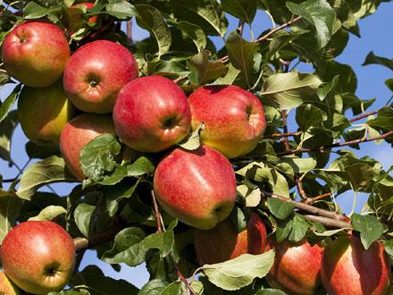 Cena jabuke u narednim godinama neće rasti FOTO: Free Images