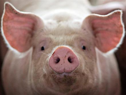 Zbog sumnje na bolest ubijeno na desetine svinja FOTO: Getty Images