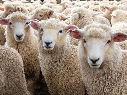 Sedam ovaca je usmrćeno FOTO: iStock