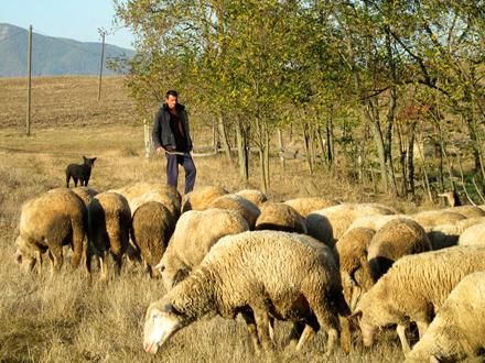 Dalibor ne može bez ovaca FOTO: S. Tasić/OK Radio