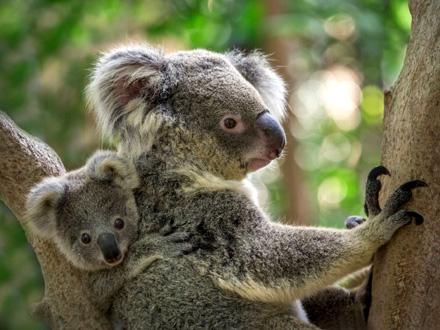 Stradalo je čak 8.000 koala FOTO: Shutterstock
