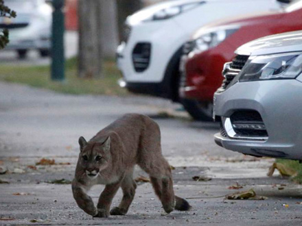 Puma uhvaćena u združenoj operaciji FOTO: Reuters
