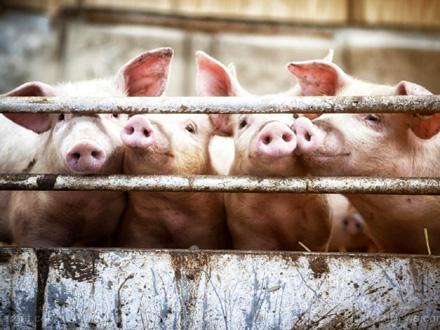 Nosioci virusa su svinje FOTO: Livestock