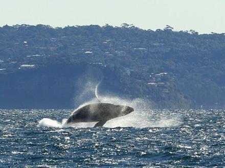 Dva kita su uspela da otplivaju iz reke, jedan ostao FOTO: Getty Images