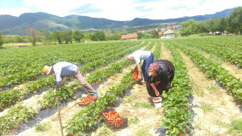 Zasadi jagoda u Suvom Dolu. Foto: S.Tasić/OK Radio