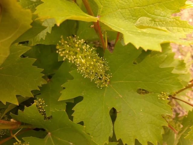Stoletni vinograd