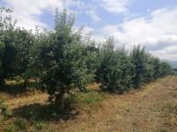 Nectar Plantaže organske jabuke