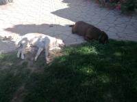Otrovana tri labradora
