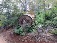 Nelegalna seča šume na Vlasini