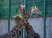 Kad se žirafa zaženi