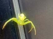 NEOBIČNA POJAVA U VRANJU: Pauk čovek, ili čovek pauk?