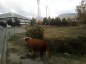 Krava sama šeta ulicama Vranja