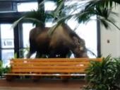 Radoznali los ušao u bolnicu da užina (VIDEO)
