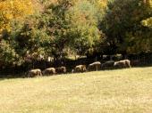 Evo koliko PARA možete dobiti od PODSTICAJNIH SREDSTAVA za stočarstvo