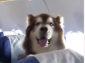 Veliki pas mirno i kulturno sedeo u avionu (VIDEO)