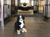 Hotel zaposlio premedenog psa i njegov glavni posao je da dočekuje goste (FOTO)