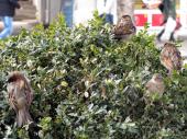 Masovno trovanje ptica: Pojele otrov na njivi
