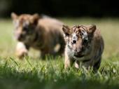 U kadi, u stanu slovačke državljanke u Austriji, pronađena dva tigrića