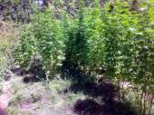 Dedica sadio marihuanu