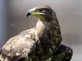 Stepski orlovi SMS-ovima iz rominga spiskali budžet ruskih ornitologa