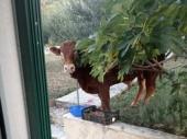 Neuhvatljivi Džeri: Treći dan ni traga ni glasa od odbeglog bika