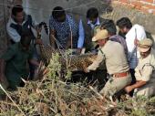 Zalutali leopard konačno uhvaćen i prebačen u zoološki vrt