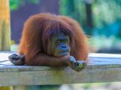 Koronavirus preti da zbriše sa Zemlje gorile, orangutane i šimpanze