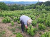 U vinogradu starom 100 godina Slavoljub i dalje bere grožđe i pravi vino