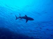 Ajkula usmrtila mladića u Australiji, surferi i kupači pokušali da ga spasu